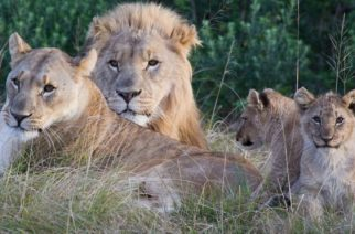 The suspected poachers strayed into a large pride of lions, the reserve's owner said