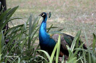 Osu Garden Peacocks