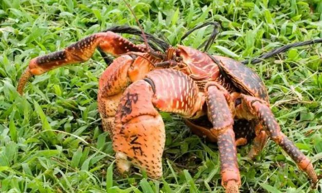 Coconut Crab In Zanzibar- The Largest Crab In The World