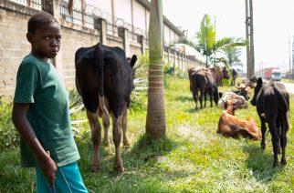 A Ugandan boy herds cows in the Kitintale neighborhood of Kampala, Uganda, Jan 20, 2020. [Photo/Agencies]