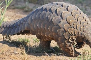 Pangolins Need Stricter Protection In Ghana