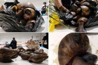 US Customs Seize Snails, Prekese, Turkey Berry At JFK Airport